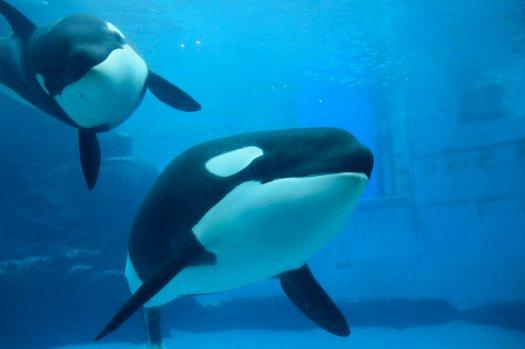 Two orca swimming in an aquarium tank.