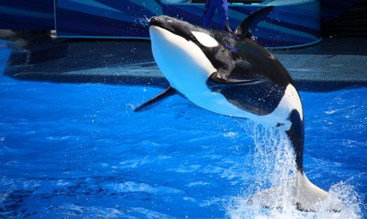 Orca jumping out of the water at SeaWorld Orlando Florida in Shamu Stadium during the Ocean Discovery Show