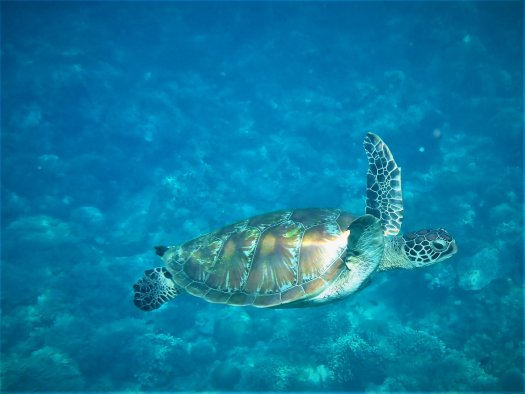 Sea turtle swimming in the ocean.