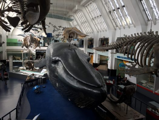 Blue whale model at the Natural History Museum in London