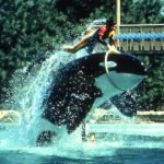 Animal trainer riding an orca at the Sea World attraction in Orlando, Florida.