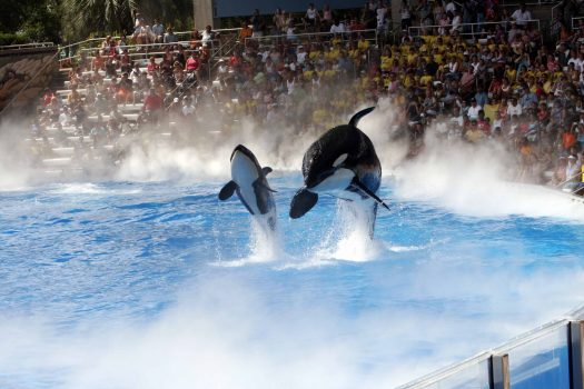 Orcas jumping out of the water at SeaWorld.