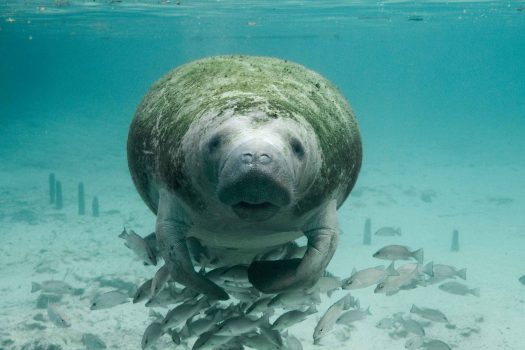 Manatee underwater, facing the camera.