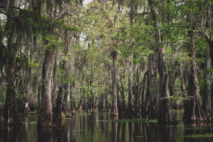 Trees in swamp, Lake Martin, Lafayette, Lousiana