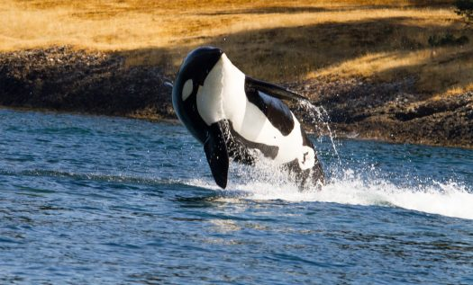 Orca jumping out of the water near a coast with golden colored grass.