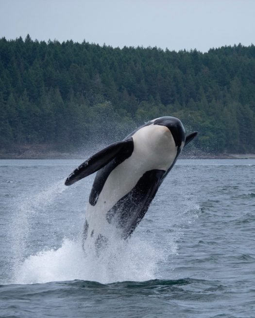 Orca jumping out of the sea.