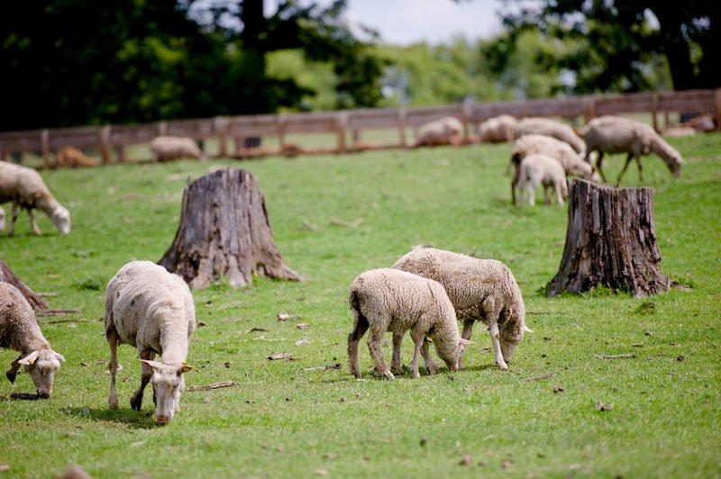 sheep grazing at Shephards Way Farm Minnesota