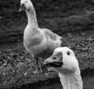 Killer Geese!