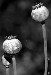 Dried Poppy.