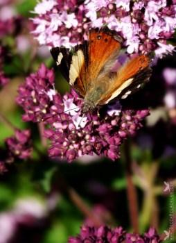 Kahukowhai or Yellow Admiral butterflies (Vanessa itea).