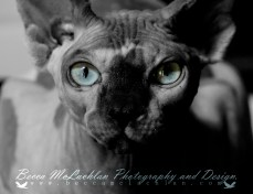 Alvin- Blue Mink Bi-Colour Shpynx