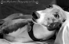 Alice - Blue and White Greyhound