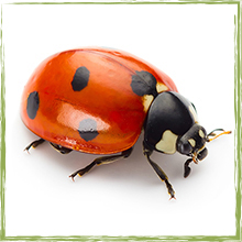 lady-beetle_adult_1