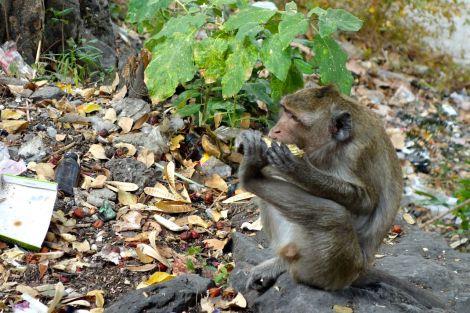 En liten apa som fick en mangokärna. Förutom banan är mango deras favoritfrukt menade vår man med expertisen.