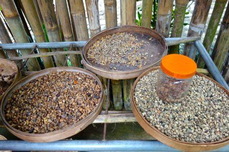 Lite olika kaffeböner, i olika stadier. I burken ligger de fortfarande i avföring.
