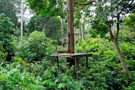 Matplattformen är en bit ifrån åskådarplats, men orangutangerna rör sig mycket. Och snabbt. Plattformen är precis i utkanten av reservatet, så när matstunden är avklarad försvinner de flesta tillbaka ut i djungeln. Men vissa stannar kvar i närheten. En kryper in i sitt näste för kvällen precis ovanför oss.