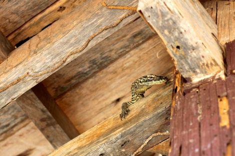 I ett litet skuggskydd gömde sig en litet bebis. Mamma och pappa ödla äter gärna de små, därför lever bebisarna i träd och på andra höjder tills de är nog stora att försvara sig.