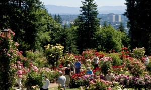 A group of people are walking through a garden of pink, white, and red roses, with fir trees behind them. In the very back of the image, you can see downtown Portland against the mountains.