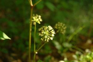 Aralia nudicaulis flowers