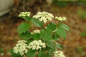 Arrowwood Viburnum (Viburnum dentatum) 6/16/05