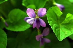 Common blue violet  (Viola sp.)  5/2/05