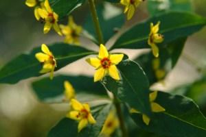 Whorled Loosestrife (Lysimachia quadrifolia) 6/30/06