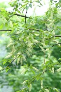 Wild Black Cherry (Prunus serotina) 5/26/06