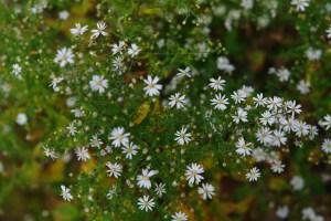 Heart-leaved Aster (Symphyotrichum cordifolium) 9/25/06