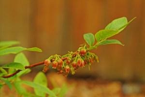 Black Huckleberry  (Gaylussacia baccata)  5/29/05