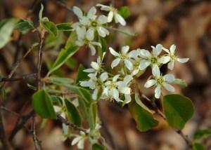 Serviceberry (aka Shadbush, Juneberry) (Amelanchier canadensis) 4/27/06