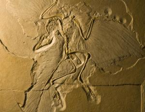 This Archaeopteryx fossil clearly shows its feathers.