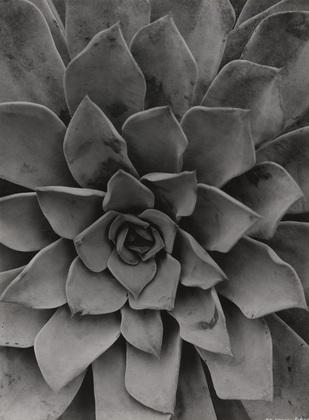 Echeveria is a photograph by Albert Renger-Patsch.
