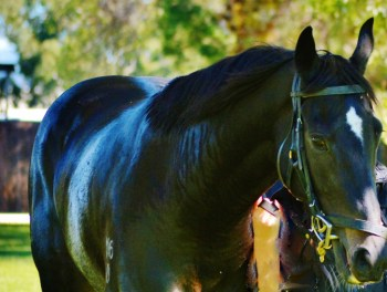 This gorgeous black horse was being walked and relaxed, after a hose down, following its race. It never failed to glance my way every time it came around in the circle.