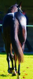 The hindquarters are the engine room of the race horse. All the power is generated from here, plus a good sized heart and chest, are the hallmarks of a great race horse.