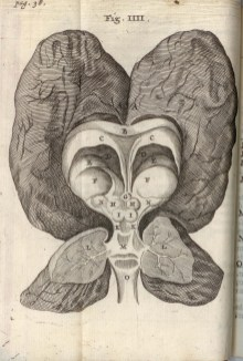 """Fig. 4: Plate IV, """"The humane brain of a certain youth that was foolish from his birth,"""" Cerebri anatome, 1666 (BBML)"""