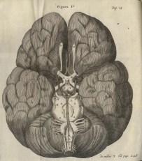 Cerebral convolutions Willis