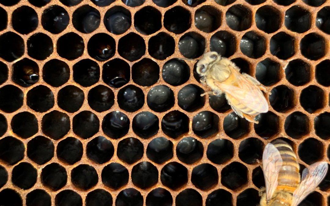 Becker Bee Buzz 6.3: Requeening Hives?