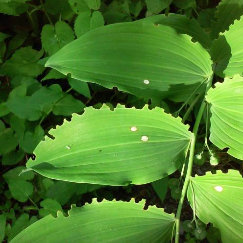 Leafcutter leaves_edited