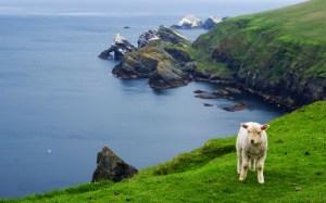 sheep-in-shetlands-425x265