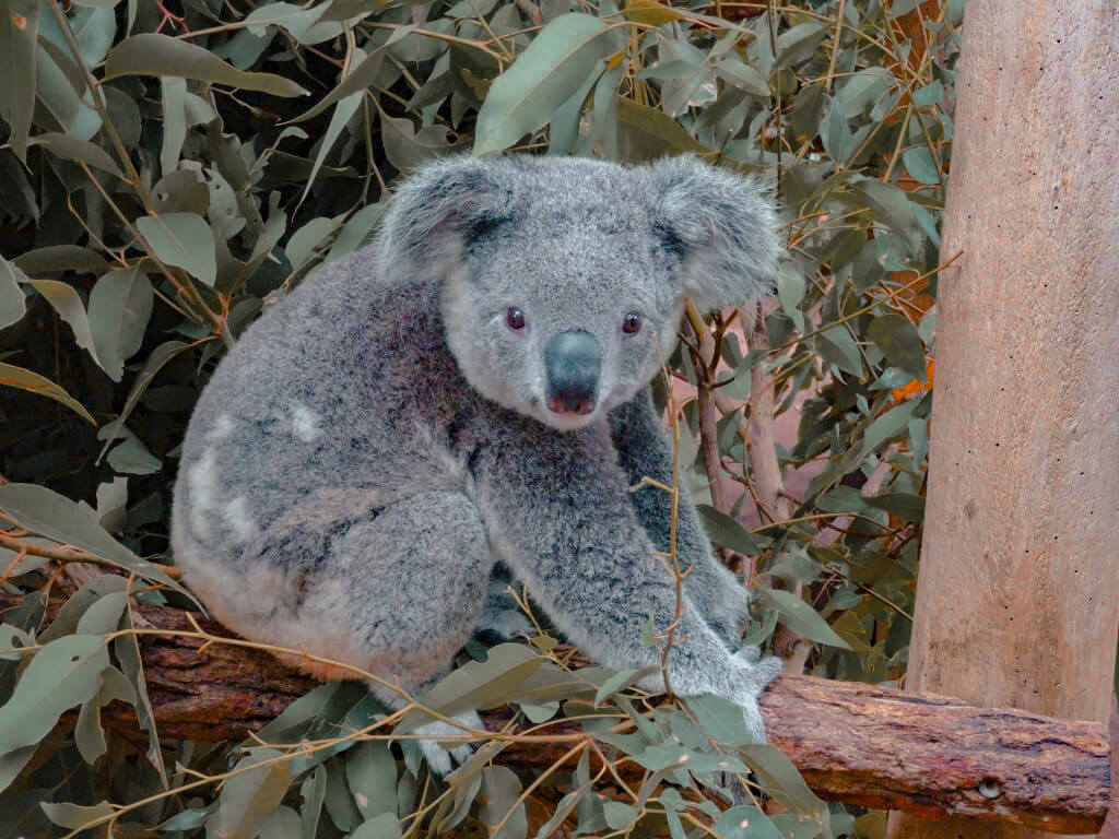 a koala at the Lone Pine koala sanctuary in Brisbane