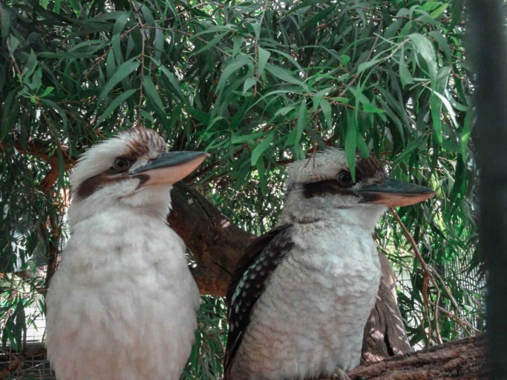 two Kookaburras in New South Wales, Australia