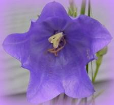 Bell Flower 523201502