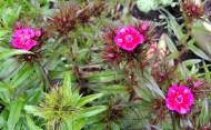 Dianthus 523201501