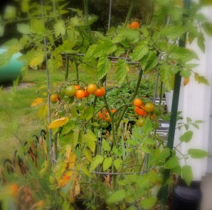 Yellow cherry tomato plant