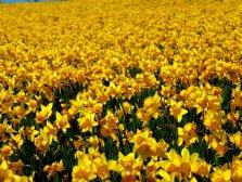 Daffodil Dreams