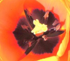 Tulip Macro One