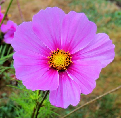 Pink Cosmos: Top 20% award for the day of 5/15/16; Top 20% award for the week of 5/16/16...