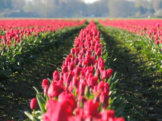 Rows Of Red Tulips: Top 20% award for the day of 5/15/16...