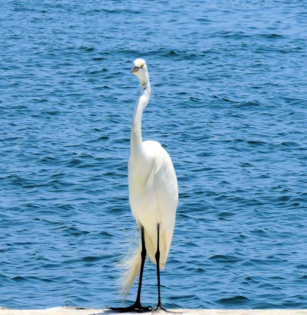 White Egret: Top 20% award for the day of 2/7/16...
