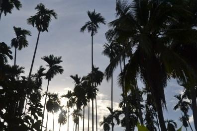 coconut trees on the farm